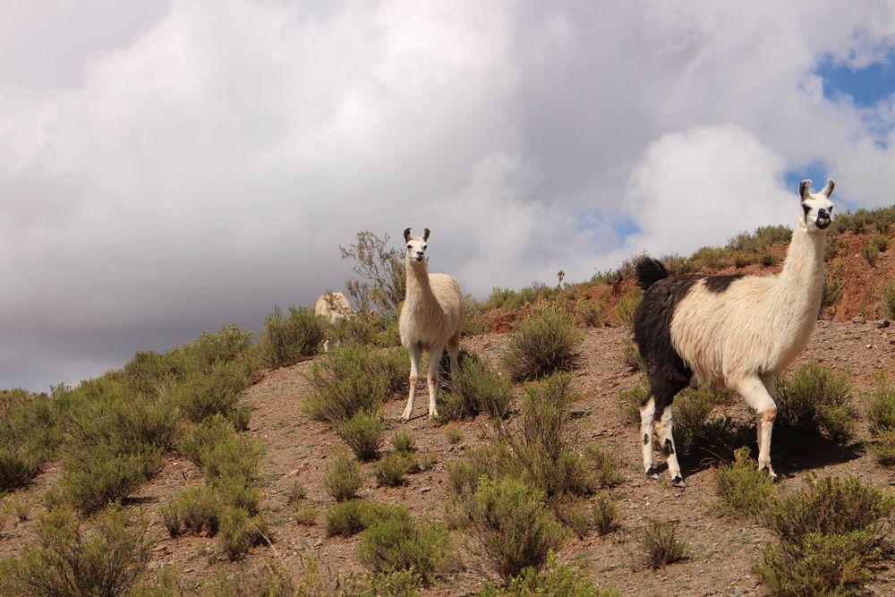 Wild animals in Tupiza