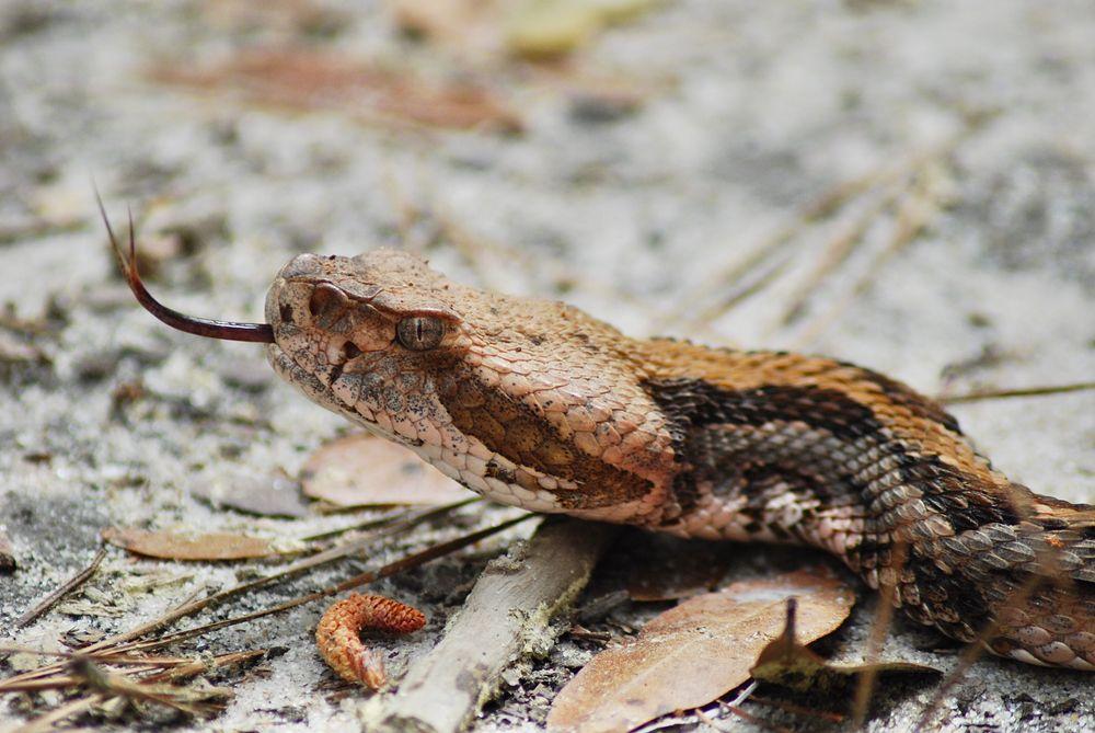 Rattlesnake at  Yawkey Wildlife Center