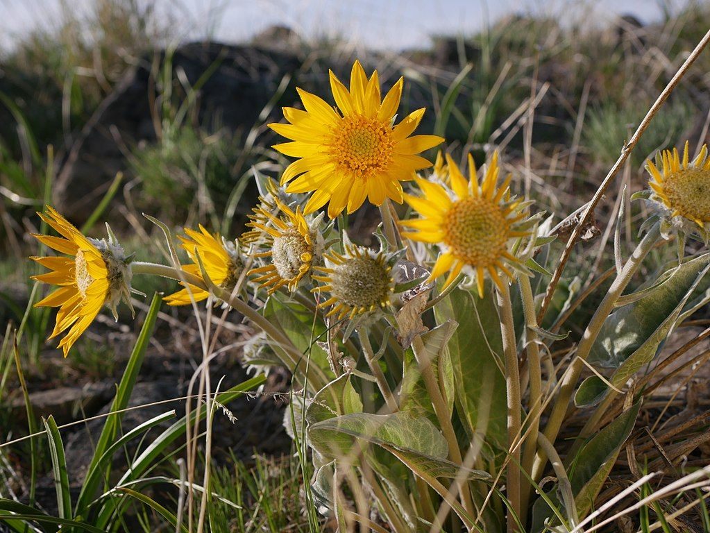 Sunflower in Saddle Rock