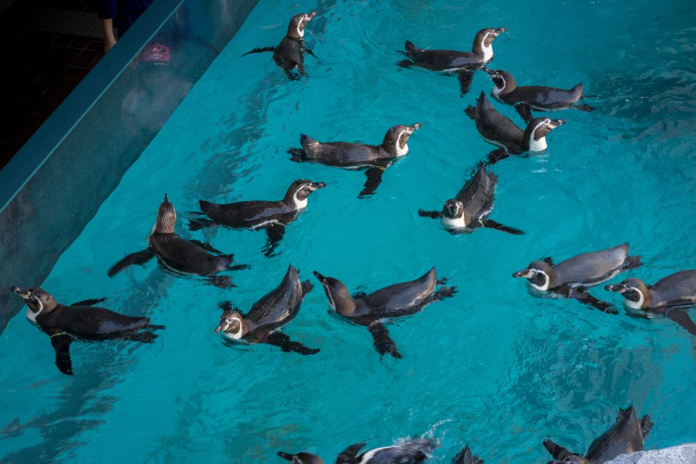 Penguins  in Nagasaki Penguin Aquarium