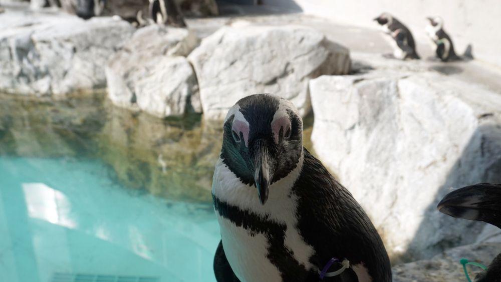 A Penguin  in Nagasaki Penguin Aquarium