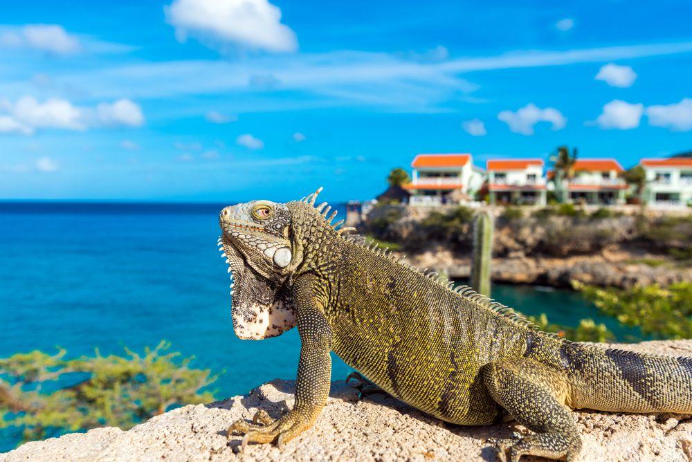 An Iguana at Playa Lagun