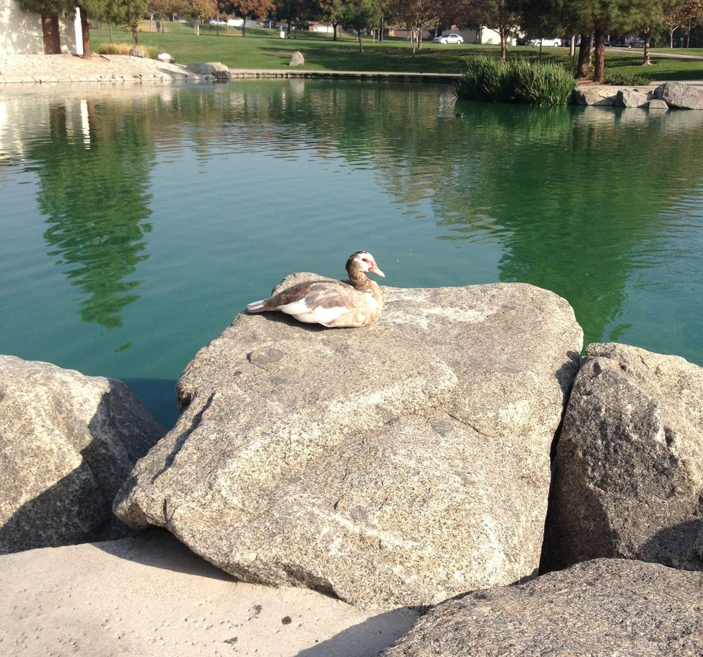A Duck at Red Hill Park