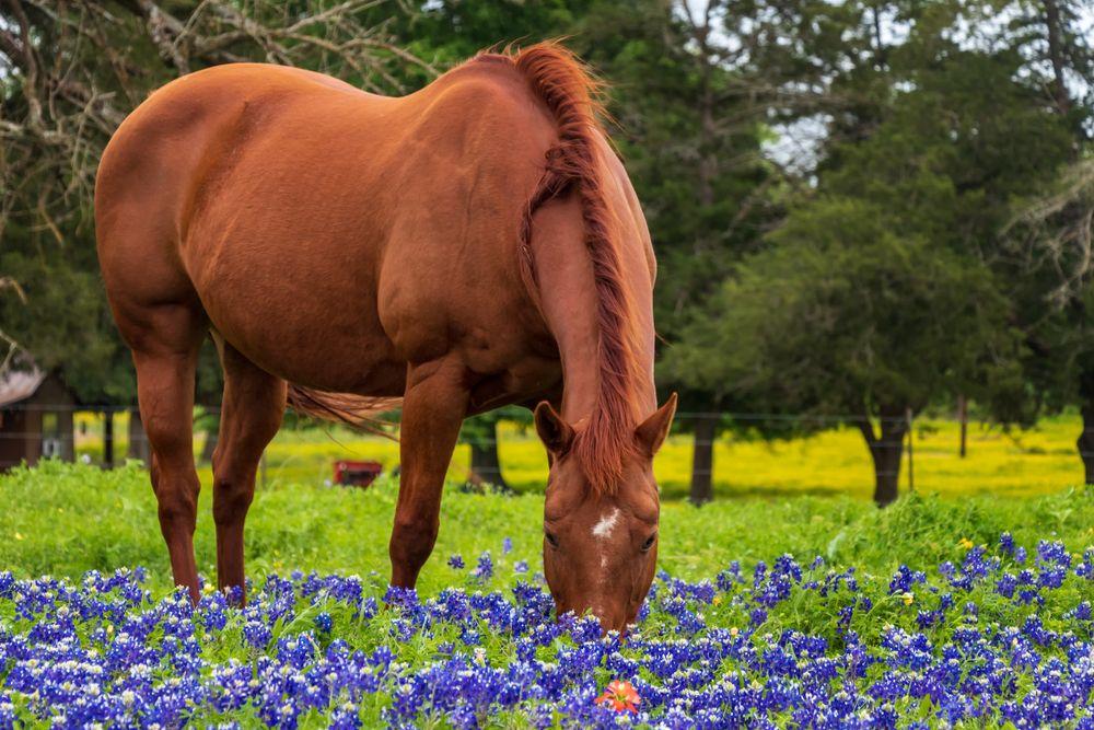 A Horse in a Field of Bluebonnets in Brenham