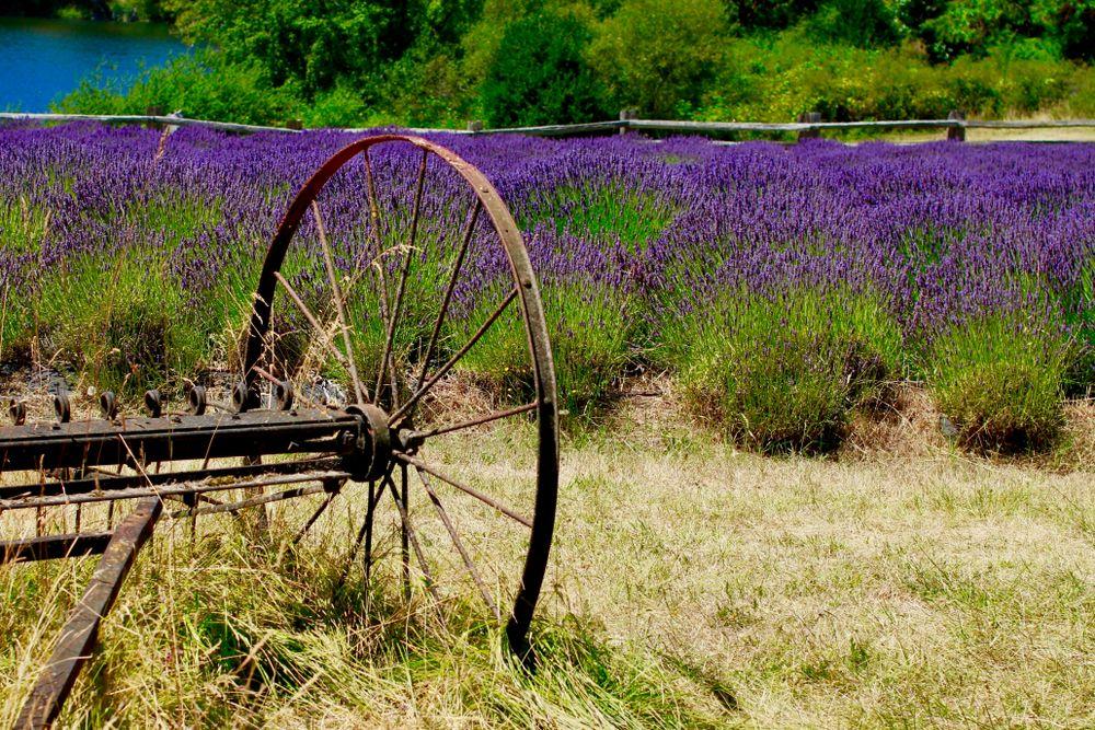 Lavender at Pelindaba Lavender Farm