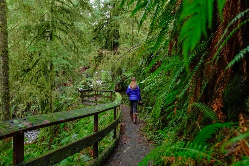 A Boardwalk in Hoh Rainforest
