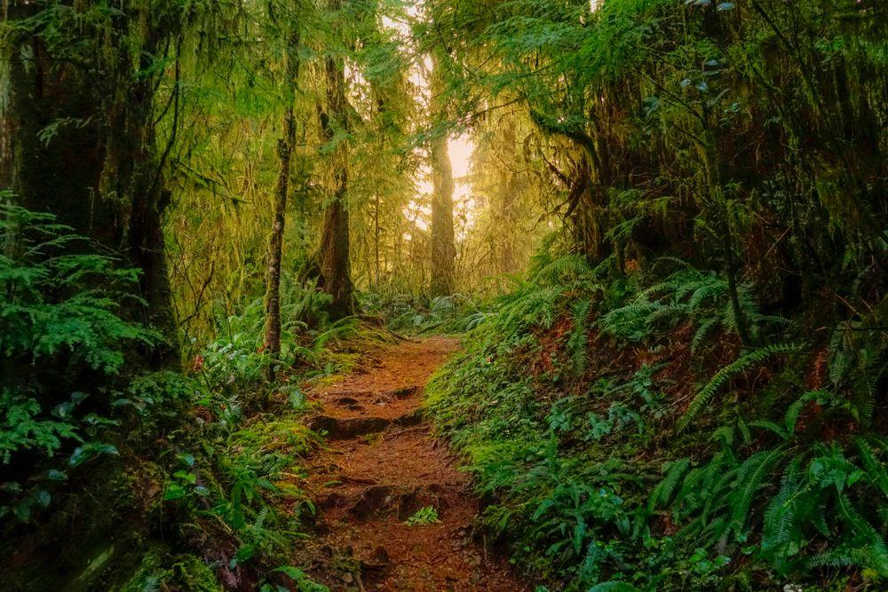 A Hiking Trail in Hoh Rainforest