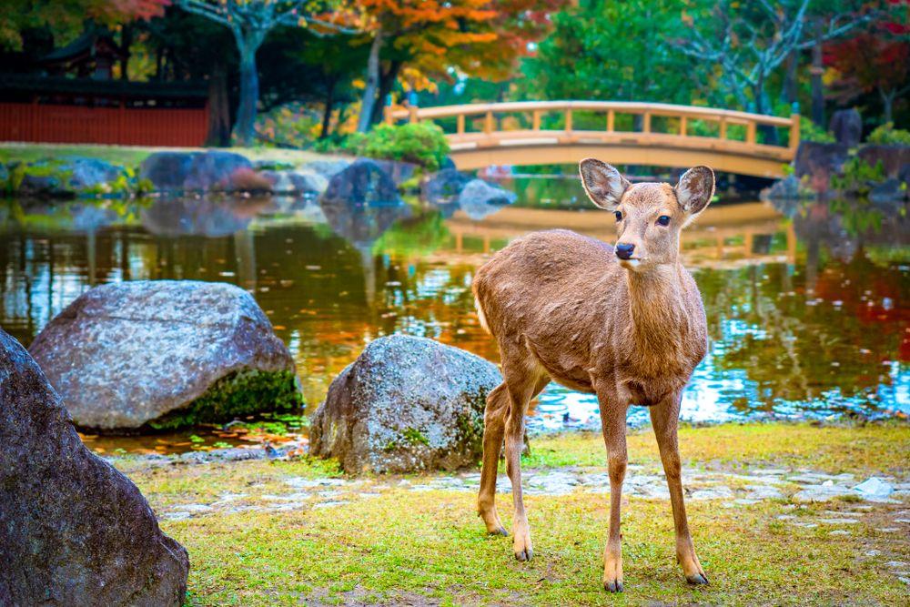 A Deer in Nara Park