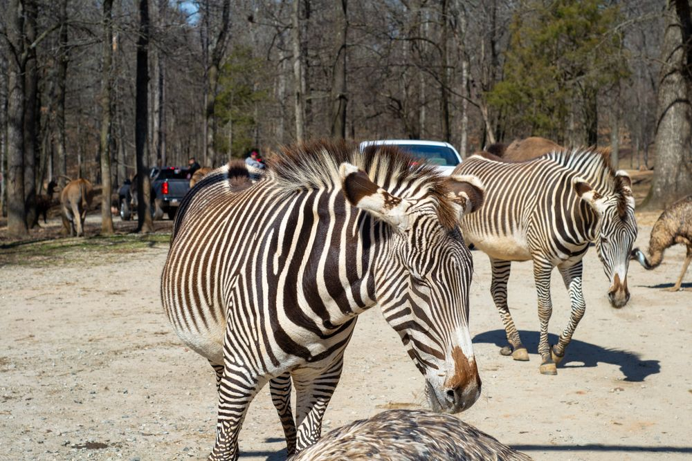 Zebras in The Lazy 5 Ranch
