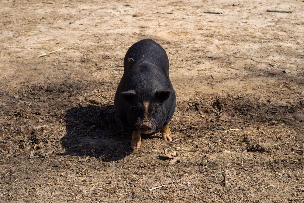 Vietnamese Pot-bellied Pig at Lazy 5 Ranch
