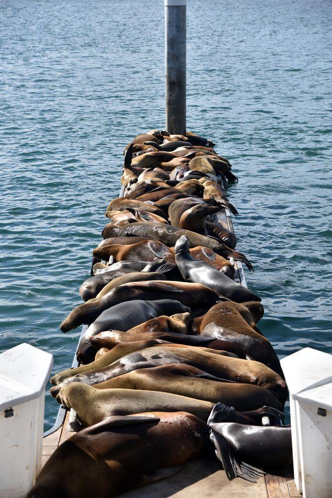 Sea Lions in Marina del Rey