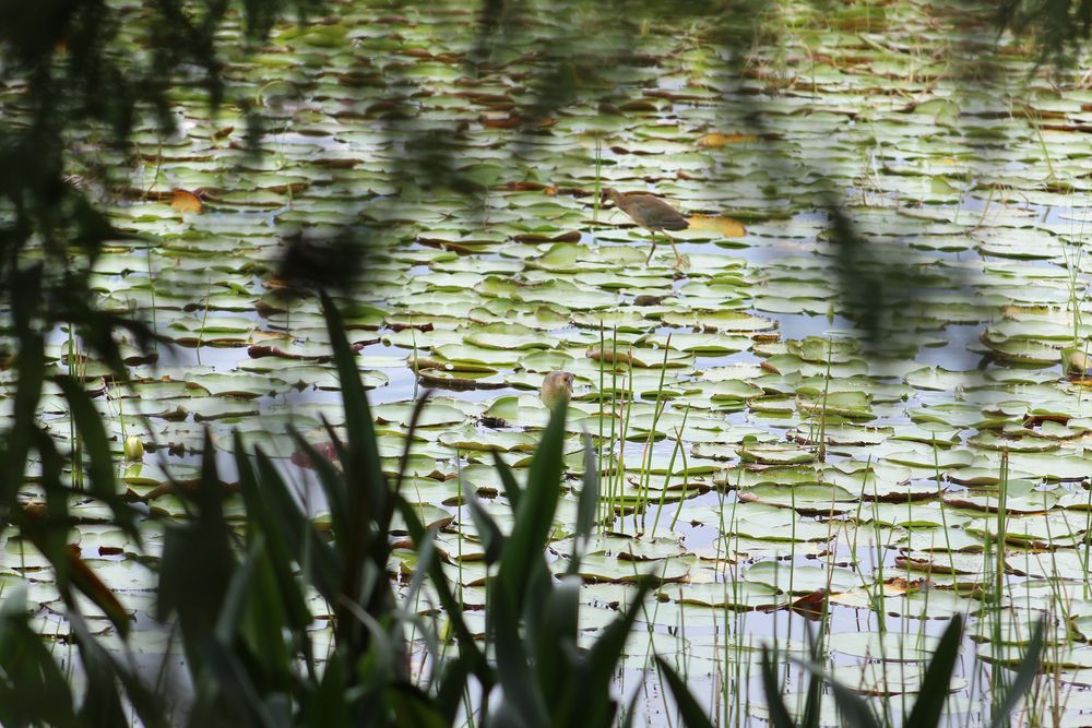 Lily pads on Lake Howard
