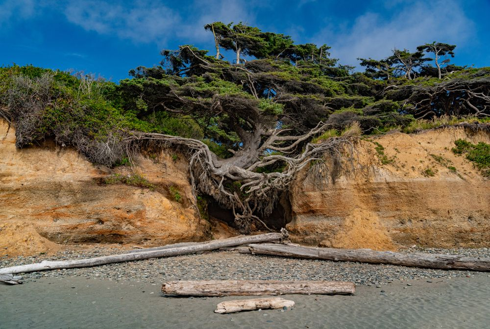 Kalaloch Tree's exposed roots on a cave at Olympic national park