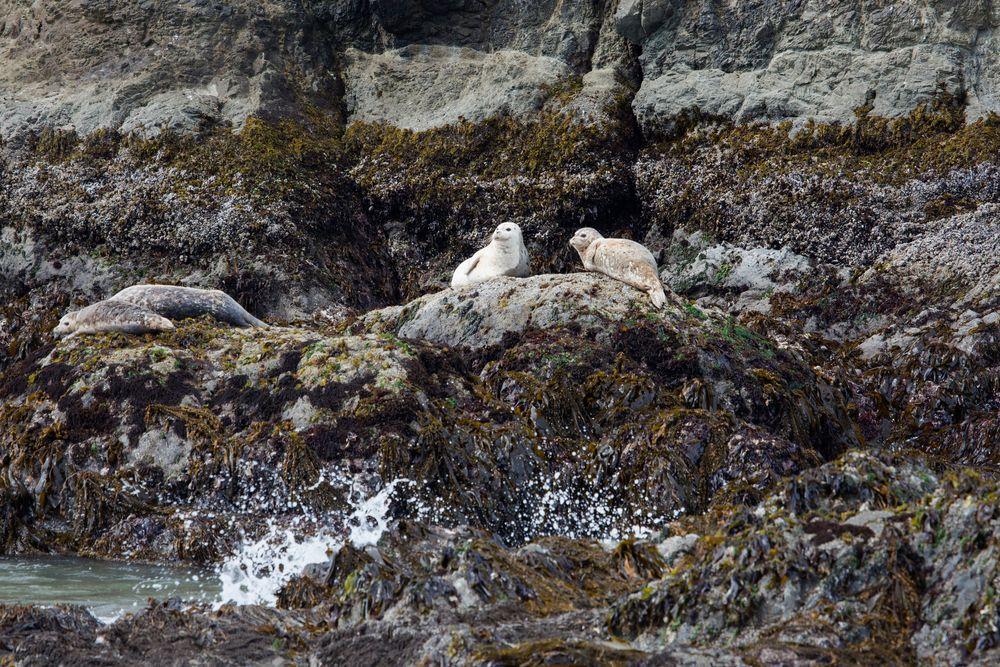 Two Seals in Oregon Islands National Wildlife Refuge