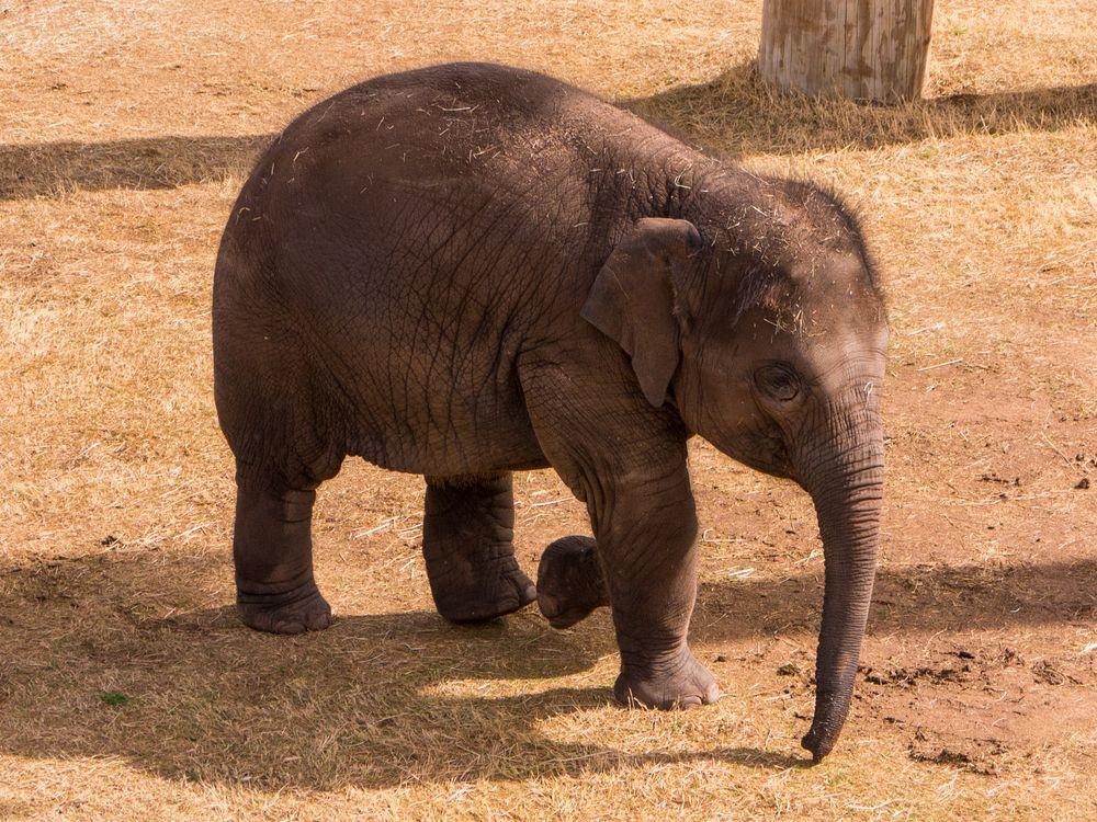 A small elephant at the Oklahoma City Zoo.