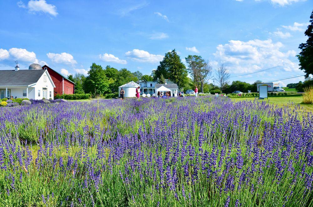 View of Lockwood Lavender Farm