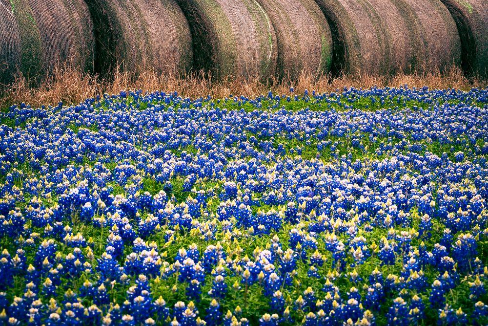 A Field of Bluebonnets in Brenham