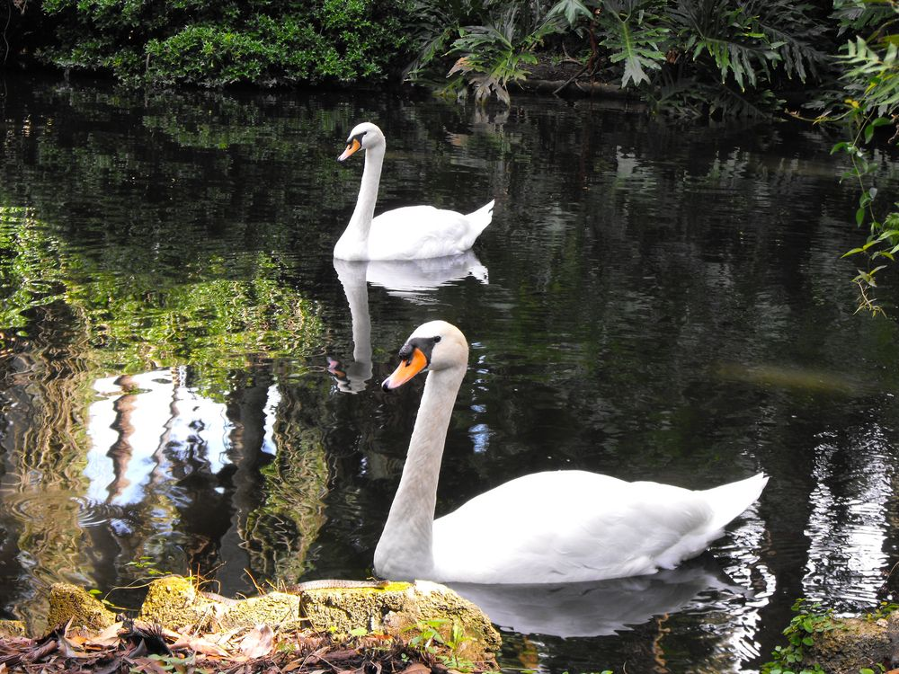 2 swans at the pond of Bok Tower Gardens, Lake Wales