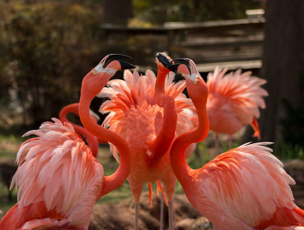 Flamingos in the Oklahoma city zoo