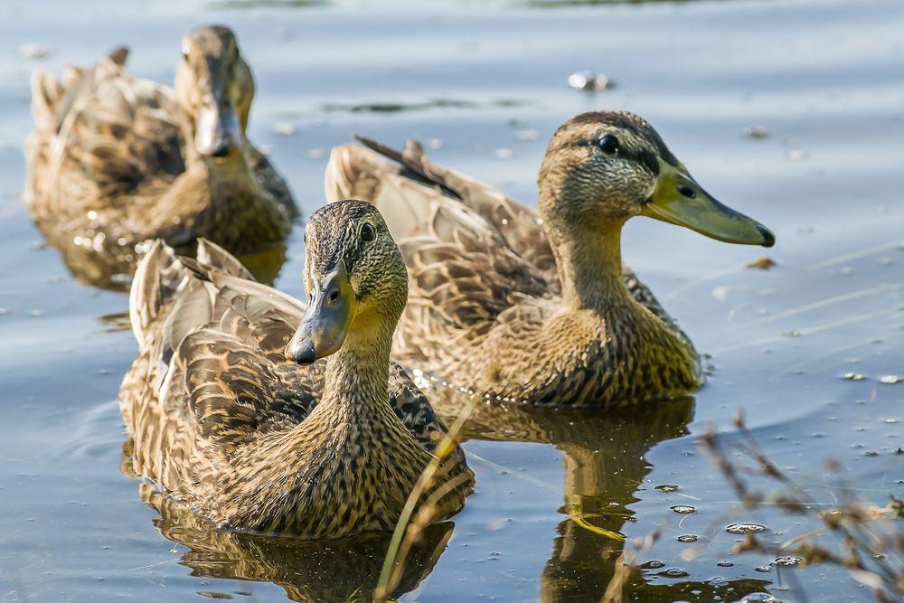 Ducks at Carson Park
