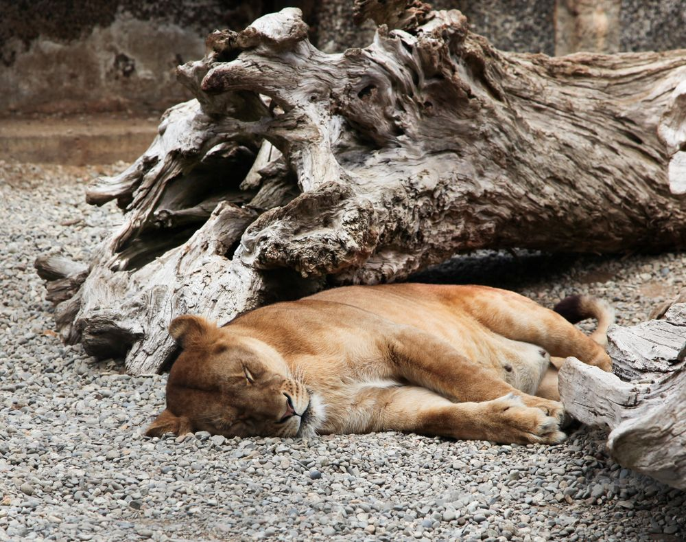 A Lionness in West Coast Game Park Safari