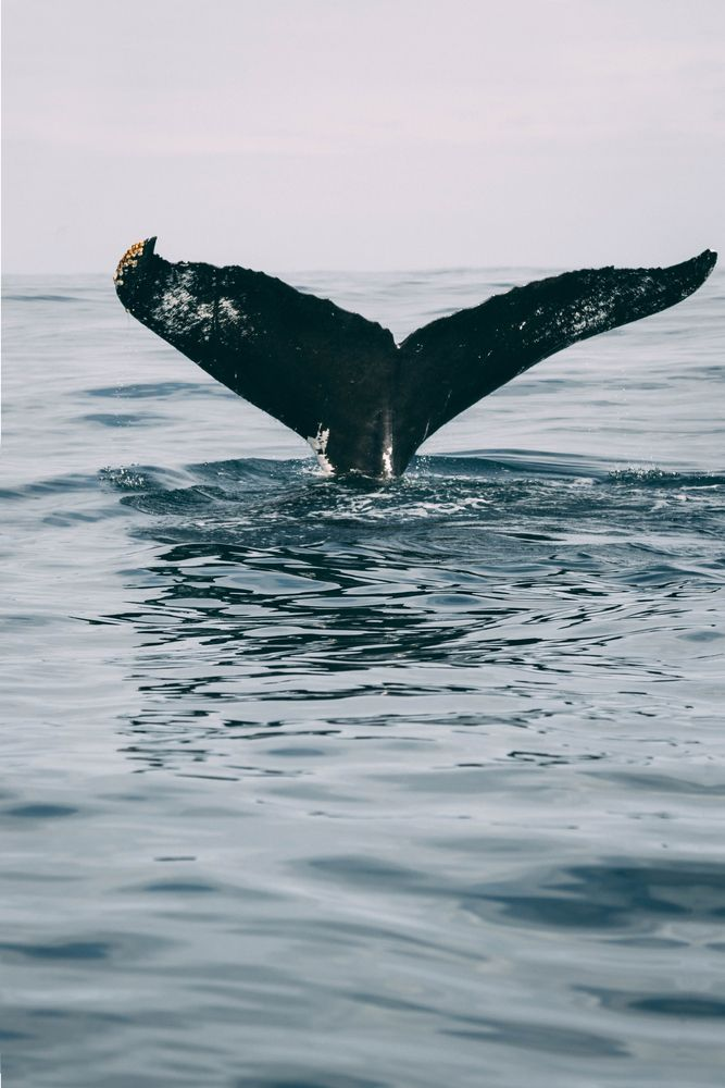 Tail of Baby Humpback Whale