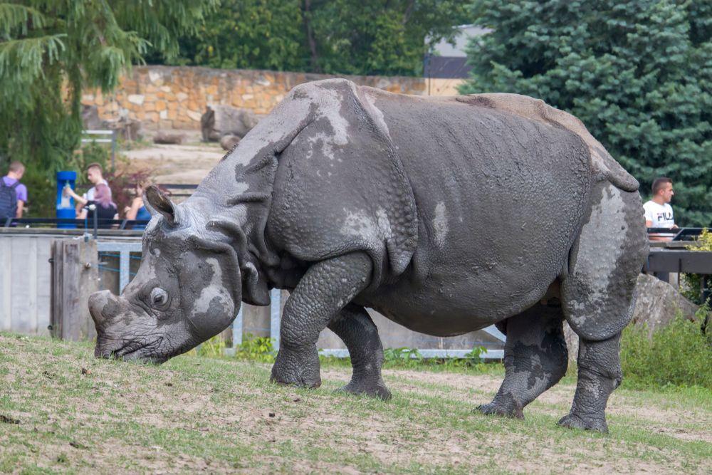 Rhinoceros at Warsaw Zoo