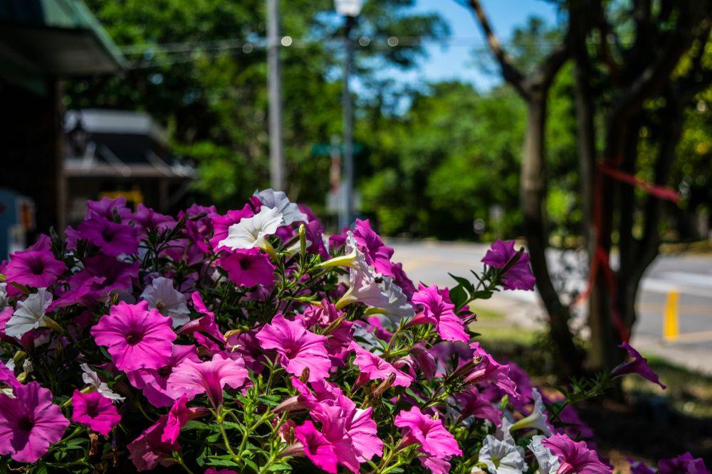 Pink flowers in Fairhope Downtown
