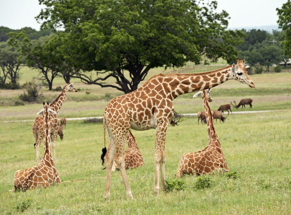 Giraffes at Fossil Rim Wildlife Center
