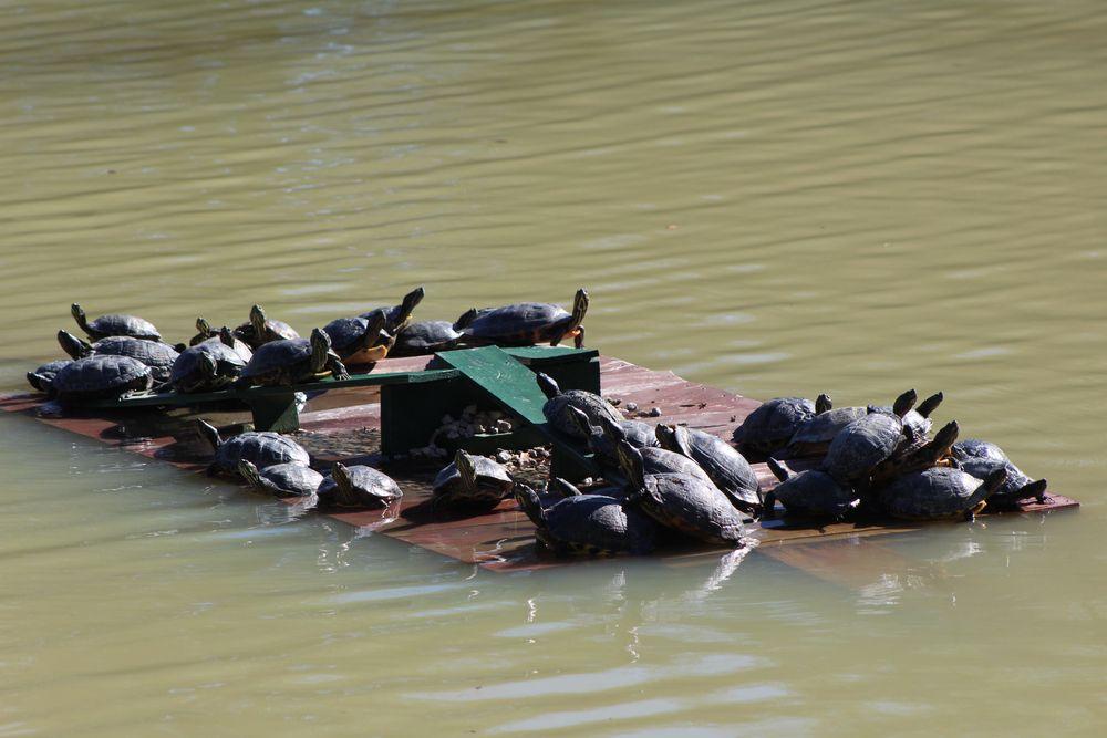 Turtles at Hopelands Gardens