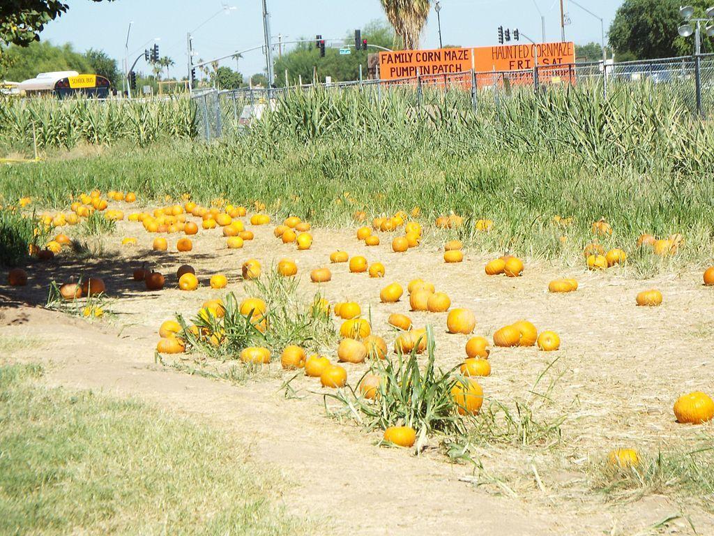 Pumpkin patch at Tolmachoff Farms