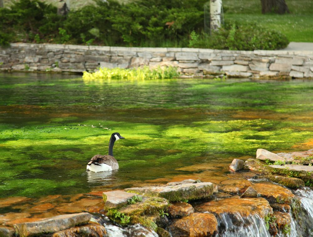 Canada Geese at Giant Springs State Park in Great Falls
